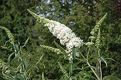 White Profusion Butterfly Bush (Buddleia davidii 'White Profusion') at Randy's Perennials