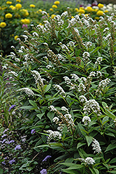 Gooseneck Loosestrife (Lysimachia clethroides) at Randy's Perennials