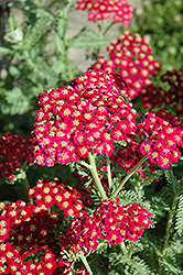 Red Velvet Yarrow (Achillea millefolium 'Red Velvet') at Randy's Perennials