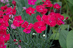 Neon Star Pinks (Dianthus 'Neon Star') at Randy's Perennials