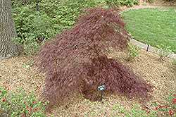 Purple-Leaf Threadleaf Japanese Maple (Acer palmatum 'Dissectum Atropurpureum') at Randy's Perennials