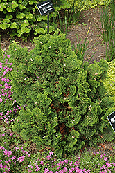 Dwarf Hinoki Falsecypress (Chamaecyparis obtusa 'Nana Gracilis') at Randy's Perennials