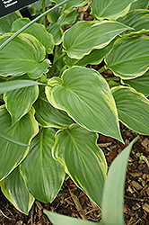 Sugar And Spice Hosta (Hosta 'Sugar And Spice') at Randy's Perennials