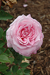 Belinda's Dream Rose (Rosa 'Belinda's Dream') at Randy's Perennials