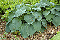 Big Daddy Hosta (Hosta 'Big Daddy') at Randy's Perennials