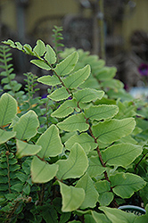 Japanese Holly Fern (Cyrtomium falcatum) at Randy's Perennials