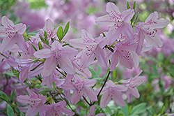 Mildred Mae Azalea (Rhododendron 'Mildred Mae') at Randy's Perennials
