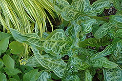 Italian Painted Arum (Arum italicum 'Pictum') at Randy's Perennials