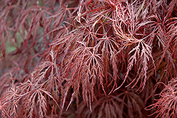 Crimson Queen Japanese Maple (Acer palmatum 'Crimson Queen') at Randy's Perennials