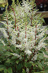 Rock And Roll Astilbe (Astilbe 'Rock And Roll') at Randy's Perennials