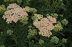 Summer Pastels Yarrow (Achillea millefolium 'Summer Pastels') at Randy's Perennials