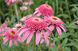 Cone-fections™ Pink Double Delight Coneflower (Echinacea purpurea 'Pink Double Delight') at Randy's Perennials