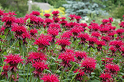 Raspberry Wine Beebalm (Monarda 'Raspberry Wine') at Randy's Perennials