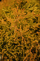 Fire Chief™ Arborvitae (Thuja occidentalis 'Congabe') at Randy's Perennials