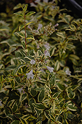 Twist of Lime™ Glossy Abelia (Abelia x grandiflora 'Hopley's') at Randy's Perennials