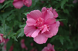 Lucy Rose Of Sharon (Hibiscus syriacus 'Lucy') at Randy's Perennials