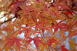 Butterfly Variegated Japanese Maple (Acer palmatum 'Butterfly') at Randy's Perennials