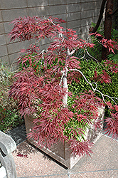 Ever Red Lace-Leaf Japanese Maple (Acer palmatum 'Ever Red') at Randy's Perennials