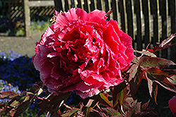 Hoki Tree Peony (Paeonia suffruticosa 'Hoki') at Randy's Perennials