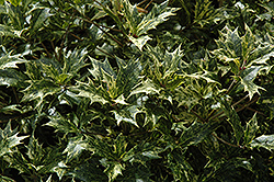 Variegated False Holly (Osmanthus heterophyllus 'Variegatus') at Randy's Perennials