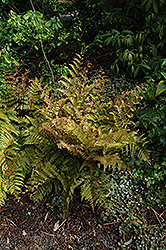 Autumn Fern (Dryopteris erythrosora) at Randy's Perennials