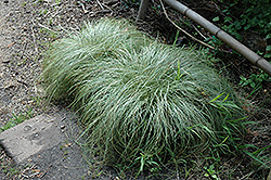 New Zealand Hair Sedge (Carex comans 'Frosted Curls') at Randy's Perennials