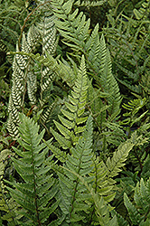 Korean Rock Fern (Polystichum tsus-simense) at Randy's Perennials