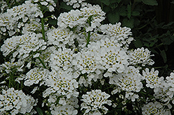 Purity Candytuft (Iberis sempervirens 'Purity') at Randy's Perennials