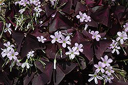 Purple Shamrock (Oxalis regnellii 'Triangularis') at Randy's Perennials