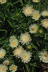 Mary Gregory Aster (Stokesia laevis 'Mary Gregory') at Randy's Perennials
