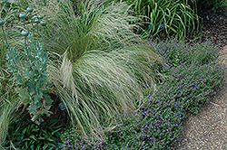 Mexican Feather Grass (Nassella tenuissima) at Randy's Perennials