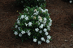 Frost Proof Hardy Gardenia (Gardenia jasminoides 'Frost Proof') at Randy's Perennials