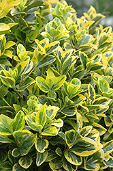Gold Variegated Japanese Euonymus (Euonymus japonicus 'Aureomarginatus') at Randy's Perennials