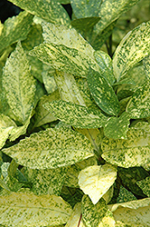 Gold Dust Aucuba (Aucuba japonica 'Gold Dust') at Randy's Perennials