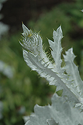 Cardoon (Cynara cardunculus) at Randy's Perennials