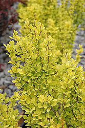Sunjoy Gold Pillar Japanese Barberry (Berberis thunbergii 'Sunjoy Gold Pillar') at Randy's Perennials