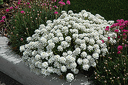 Tahoe Candytuft (Iberis sempervirens 'Tahoe') at Randy's Perennials