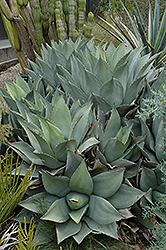 Parry's Agave (Agave parryi) at Randy's Perennials
