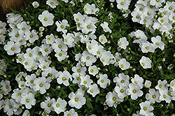 Alpine Baby's Breath (Gypsophila cerastioides) at Randy's Perennials