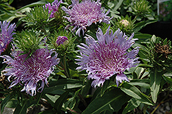Klaus Jelitto Aster (Stokesia laevis 'Klaus Jelitto') at Randy's Perennials
