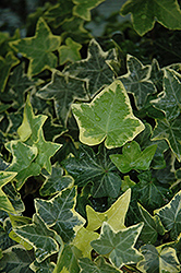 Gold Child Ivy (Hedera helix 'Gold Child') at Randy's Perennials
