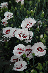 Scent First® Coconut Surprise Pinks (Dianthus 'WP05Yves') at Randy's Perennials
