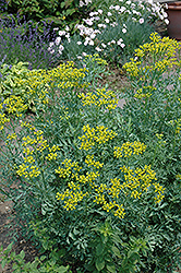 Common Rue (Ruta graveolens) at Randy's Perennials