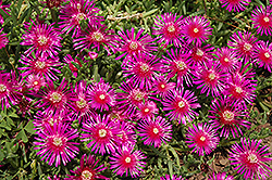 Purple Ice Plant (Delosperma cooperi) at Randy's Perennials