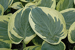 Snow Cap Hosta (Hosta 'Snow Cap') at Randy's Perennials