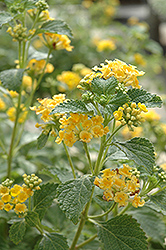 Sunburst Lantana (Lantana 'Sunburst') at Randy's Perennials