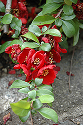 Crimson and Gold Flowering Quince (Chaenomeles x superba 'Crimson and Gold') at Randy's Perennials