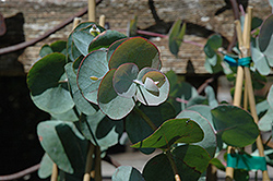 Silver Dollar Gum (Eucalyptus cinerea) at Randy's Perennials