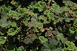 Emerald Carpet Raspberry (Rubus calycinoides 'Emerald Carpet') at Randy's Perennials