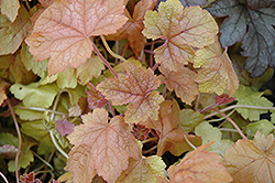 Redstone Falls Foamy Bells (Heucherella 'Redstone Falls') at Randy's Perennials